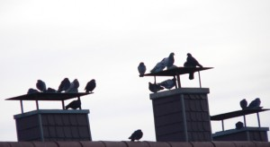 Frierende Tauben in Kaiserslautern