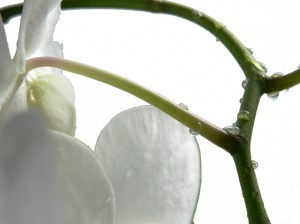 Detail Orchidee
