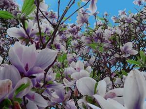 Magnolie in Vlotho, NRW